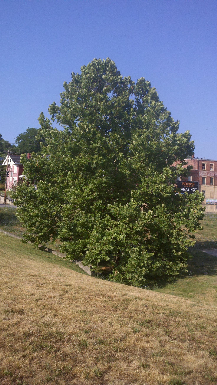 Tree Images Cincinnati Cincinnati Moon Tree