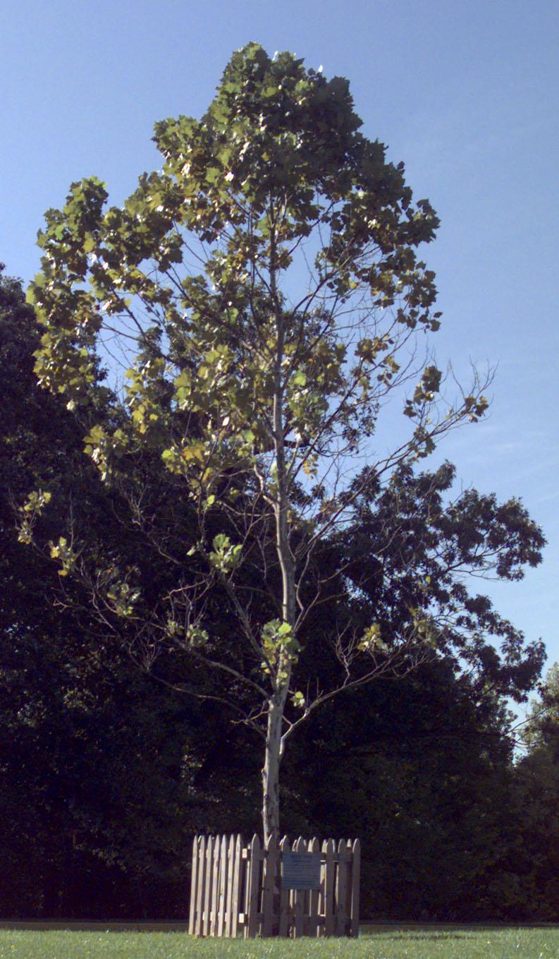 Trees Of Santa Cruz County Melaleuca Quinquenervia: The Moon Trees