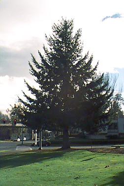 Washington State Capitol Moon Tree